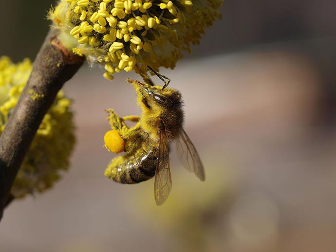 The shrinking honeybee population has ramifications for the nation's food supply.